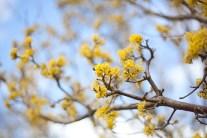 gul-blomma