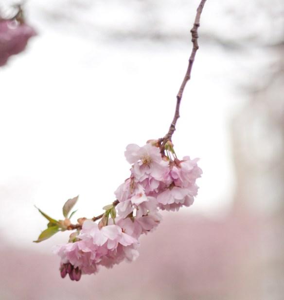 körsbär-kvist