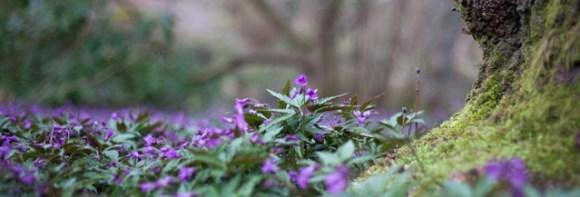 lila-blomma
