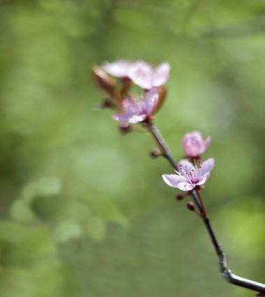 körsbärsbär