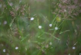 vita-blommor-i-gräs