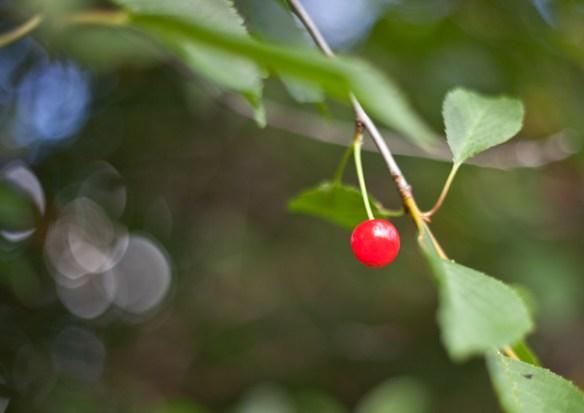 körsbär