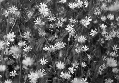 blommor-svartvitt