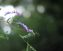 lila-blomma-bokeh
