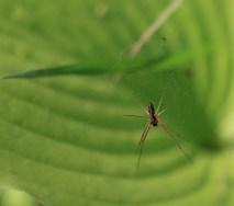 en-spindel