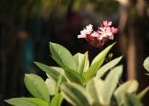 rosa-blomma-malaysia