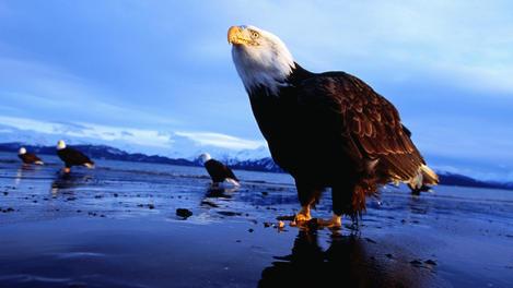 Bald eagles (Haliaeetus leucocephalus) on beach, February.