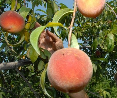 peach tree picking peaches.jpg
