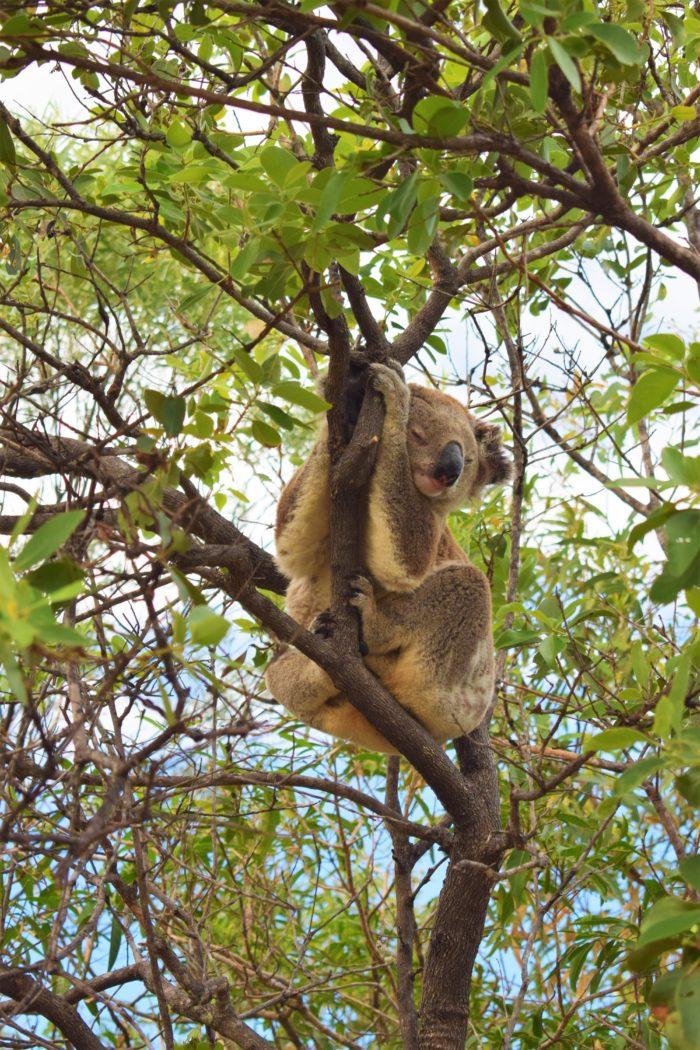 se vilda koalor australien