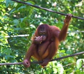 Möte med vilda orangutanger i Sepilok!