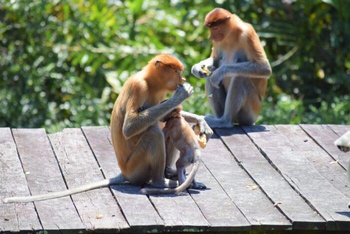 näsapa och apunge i Labuk monkey sanctuary