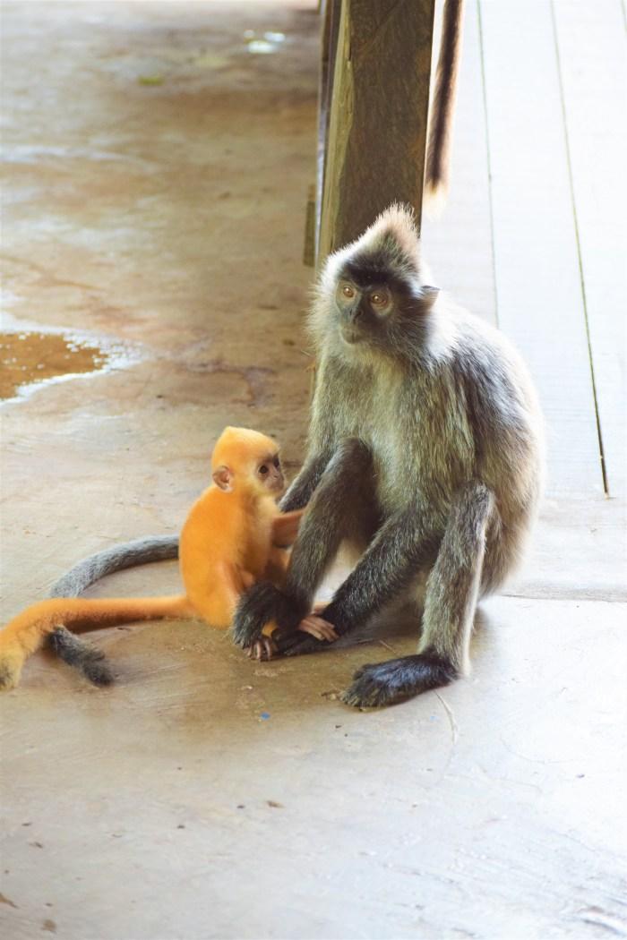 silvrig bladapa med orange unge