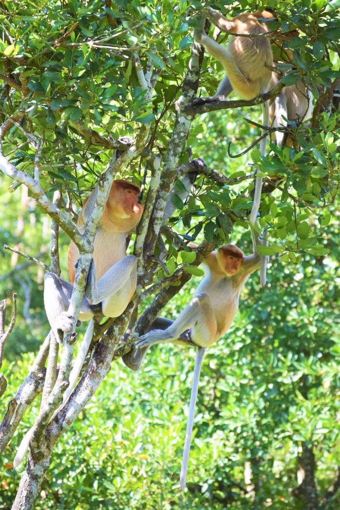 Näsapor i träd på Labuk Bay Proboscis Monkey Sanctuary