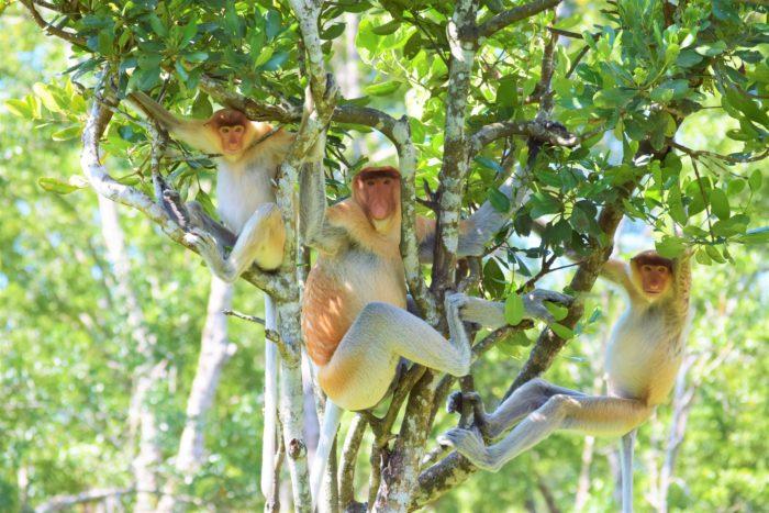 näsapor på Labuk Bay Proboscis Monkey Sanctuary