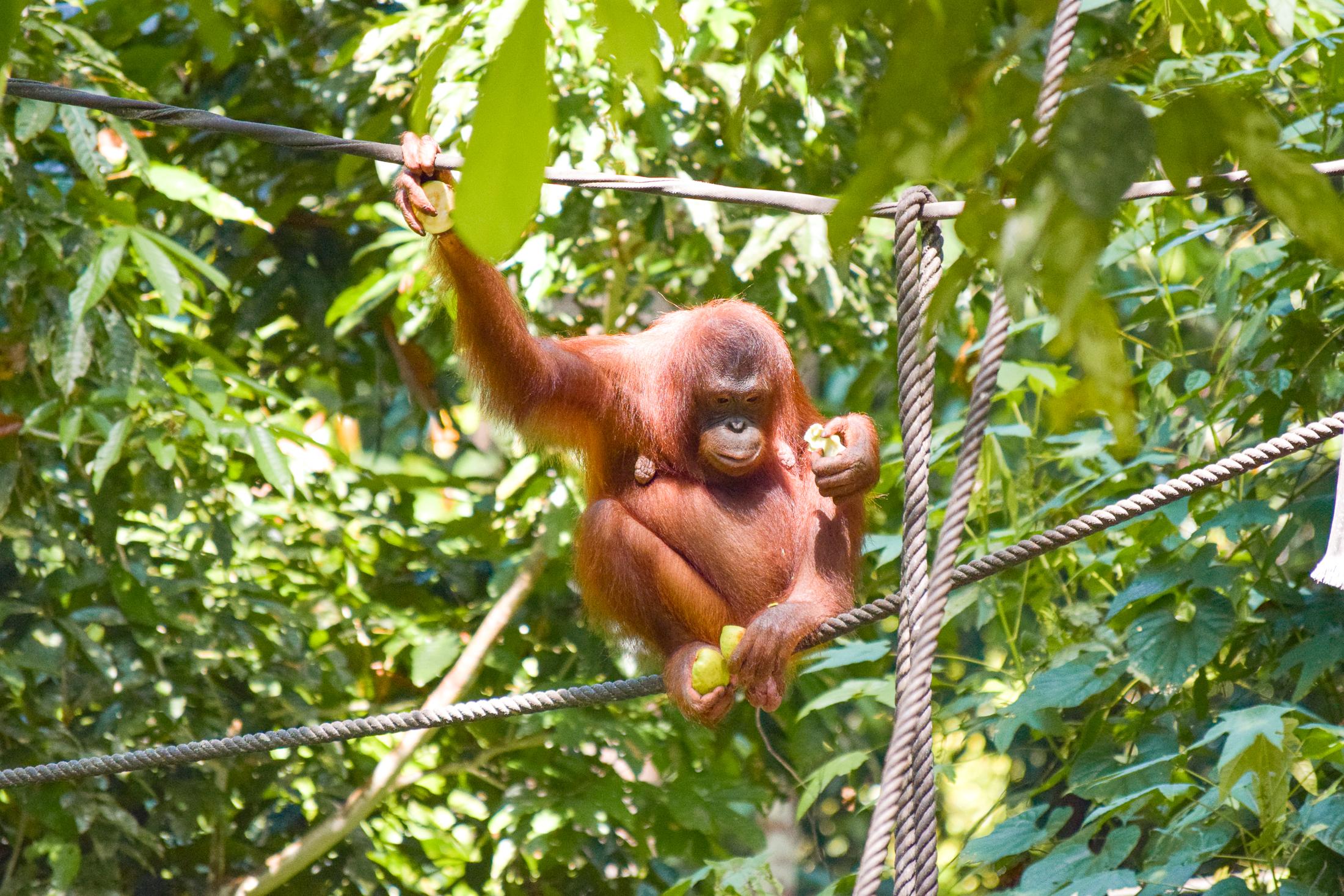 Vild orangutang sitter och äter frukt.