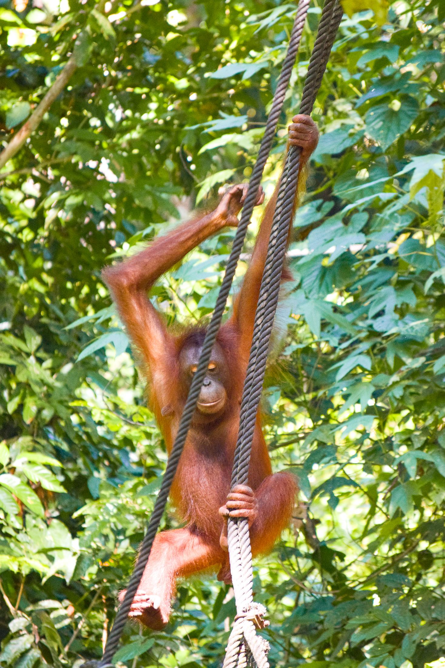 Orangutang svingar sig i ett rep i djungeln.