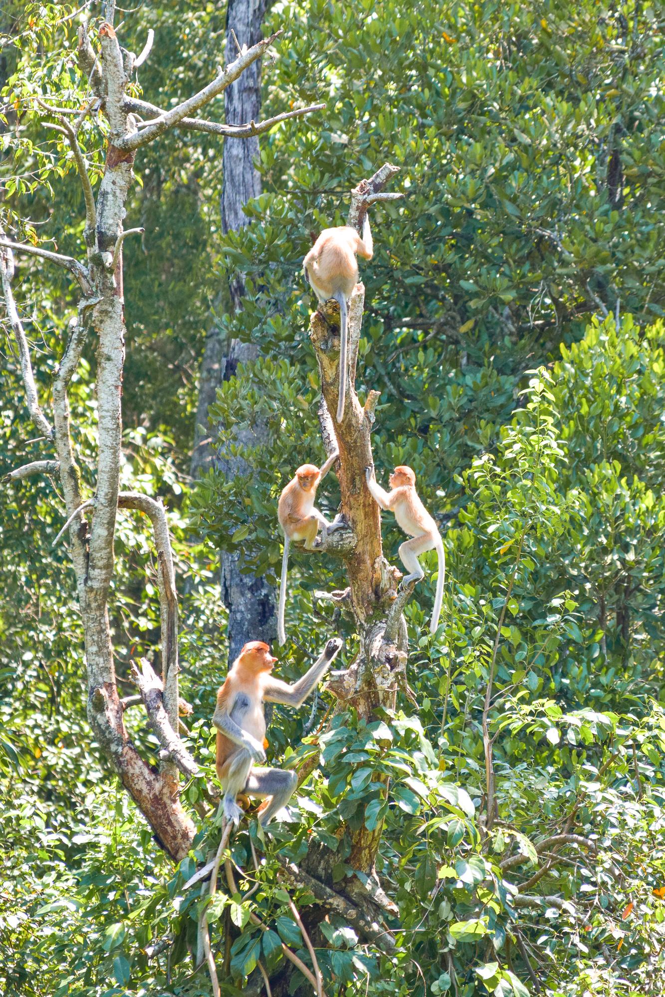 Många näsapor klättrar och hoppar i ett träd.