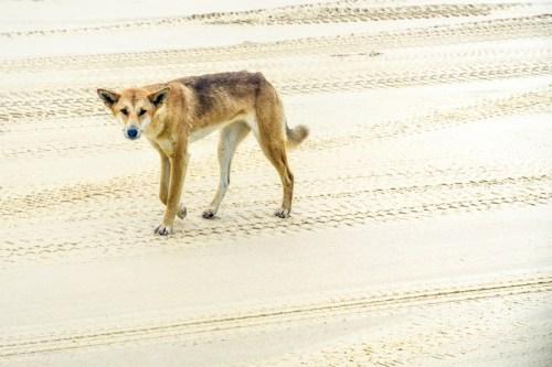 dingo fraiser island
