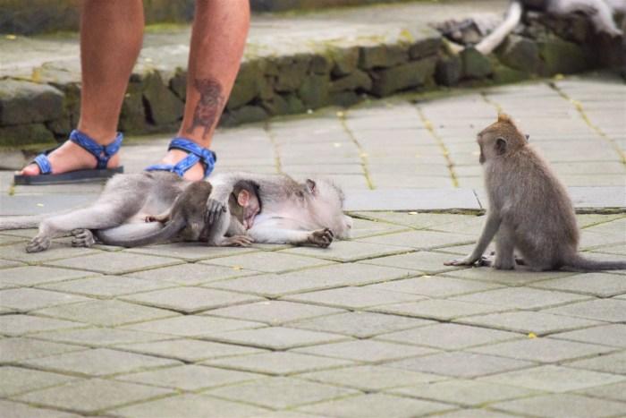liggande apa med sin unge