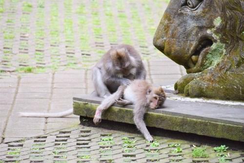 apa plockar löss från sitt barn