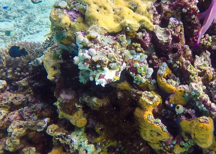 frogfish på korallrev.