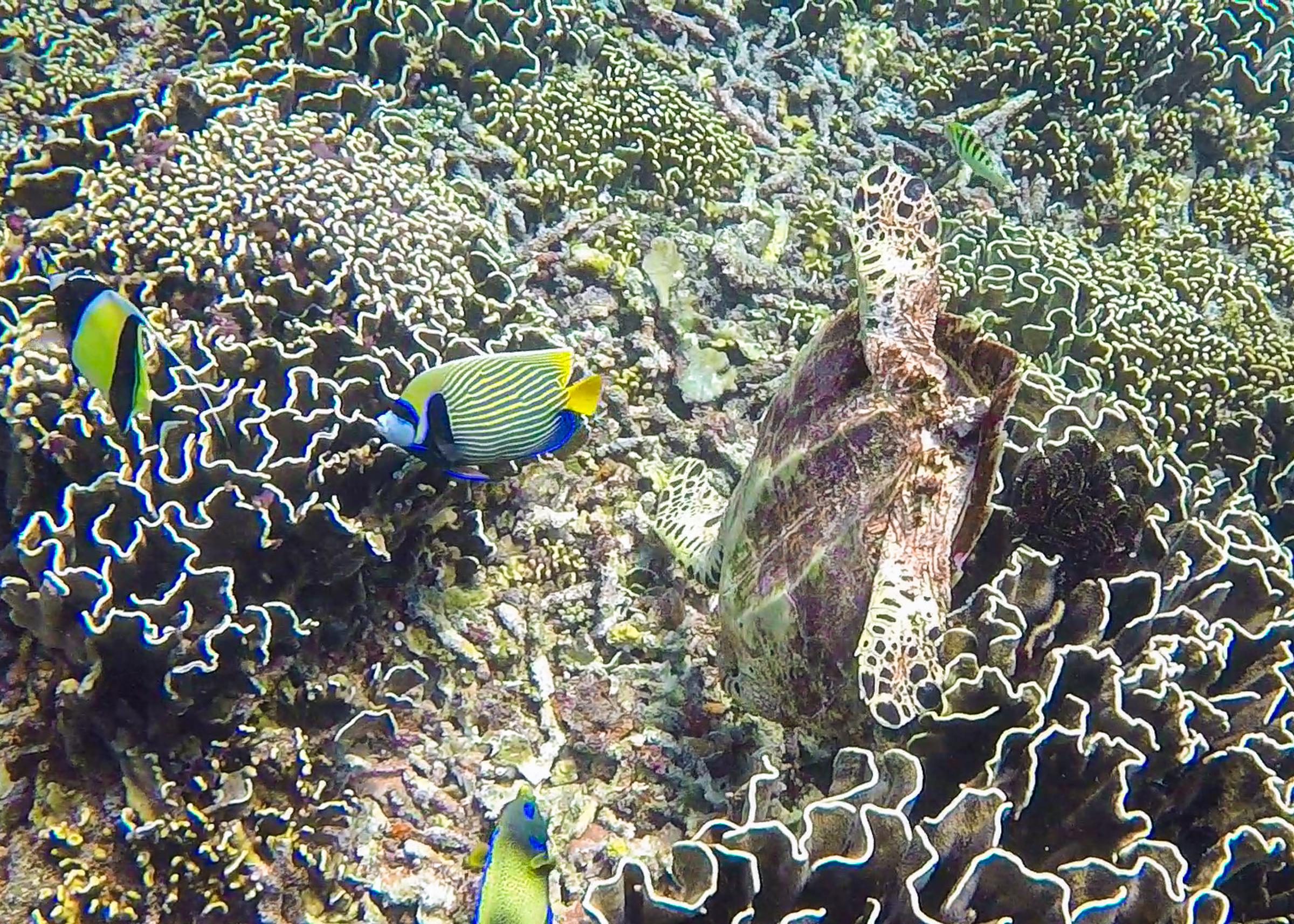 sköldpadda äter från korall, vid shark point på giliöarna.