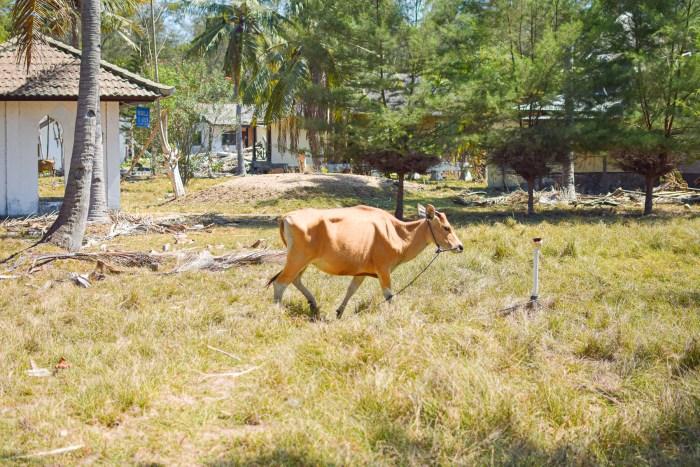 ko vandrar på gräs.