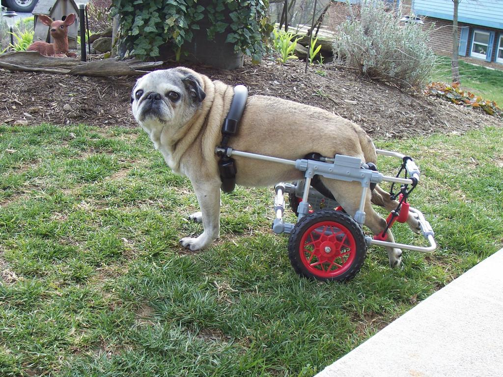 Wheelchair Dogs | criticallyrated
