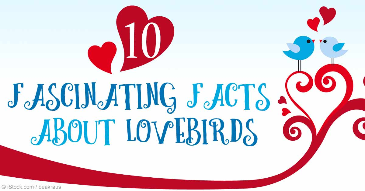 Lovebirds May Have Inspired Valentines Day