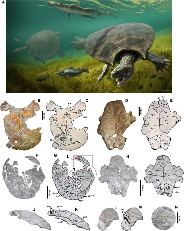 Tortuga: expertos descubren fósil del tamaño de un auto