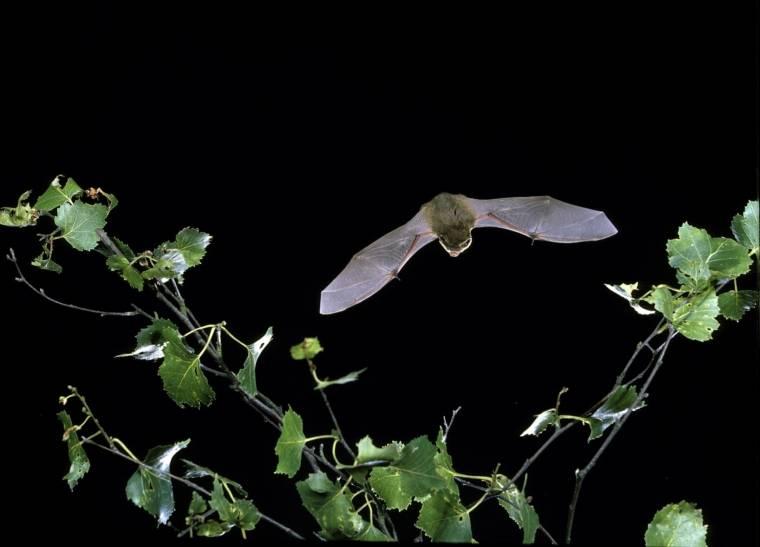 Uno de los murciélagos hallados, el Pipistrelle común.