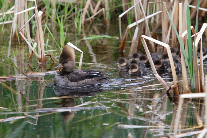 Ducklings1
