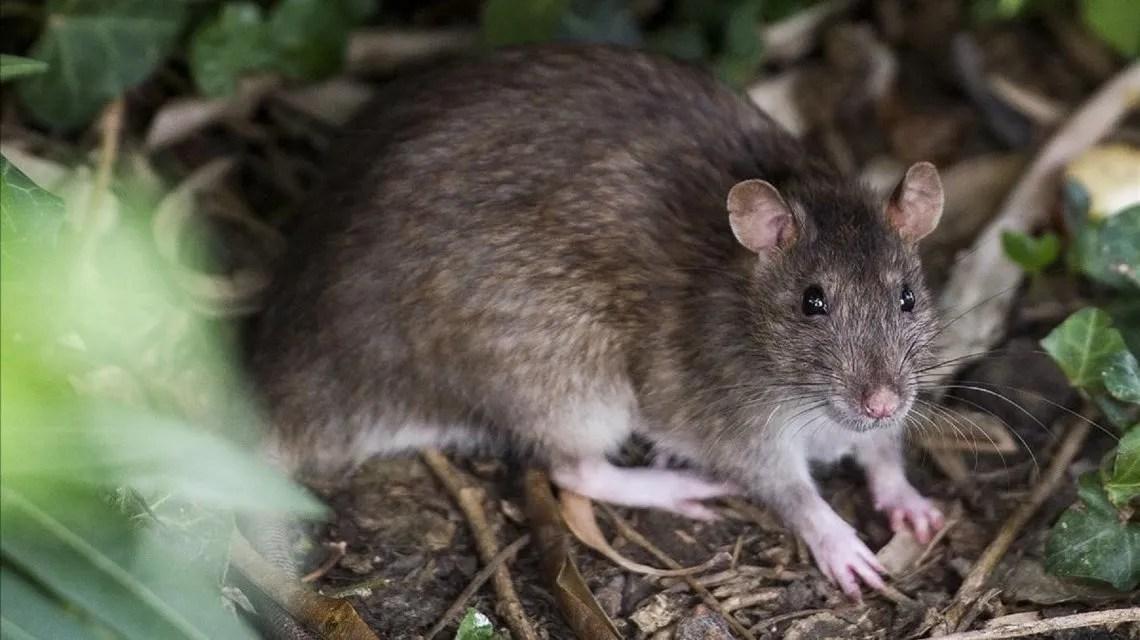 Hantavirus: cómo se contagia y cuáles son los síntomas de la enfermedad