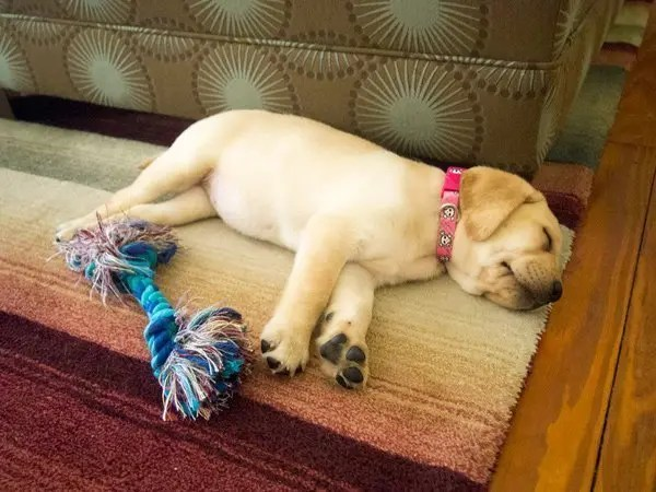 Photo of a chill yellow lab puppy.