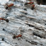 Myror I Ur och Skur Bromma