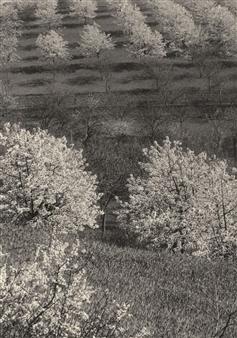 Kirschplantage (Cherry Plantation), 1930 By Aenne Biermann