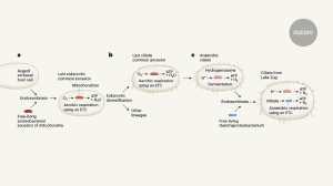 A microbial marriage reminiscent of mitochondrial evolution