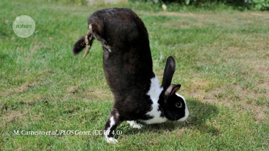 Rabbits 'standing on their hands' help find bouncing genes: Featured research