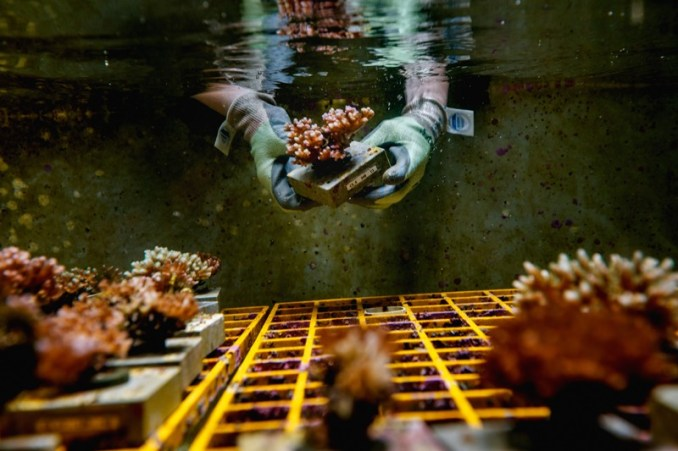 A scientist holding some coral underwater in a tank