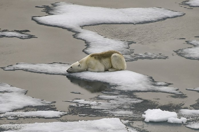 A polar bear is on ice floes in the British Channel in the Franz Josef Land archipelago on August 16, 2021.