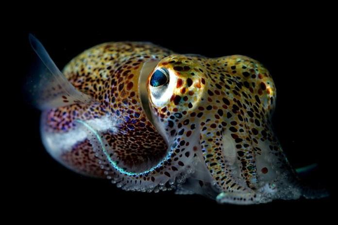 Calamar hawaiano