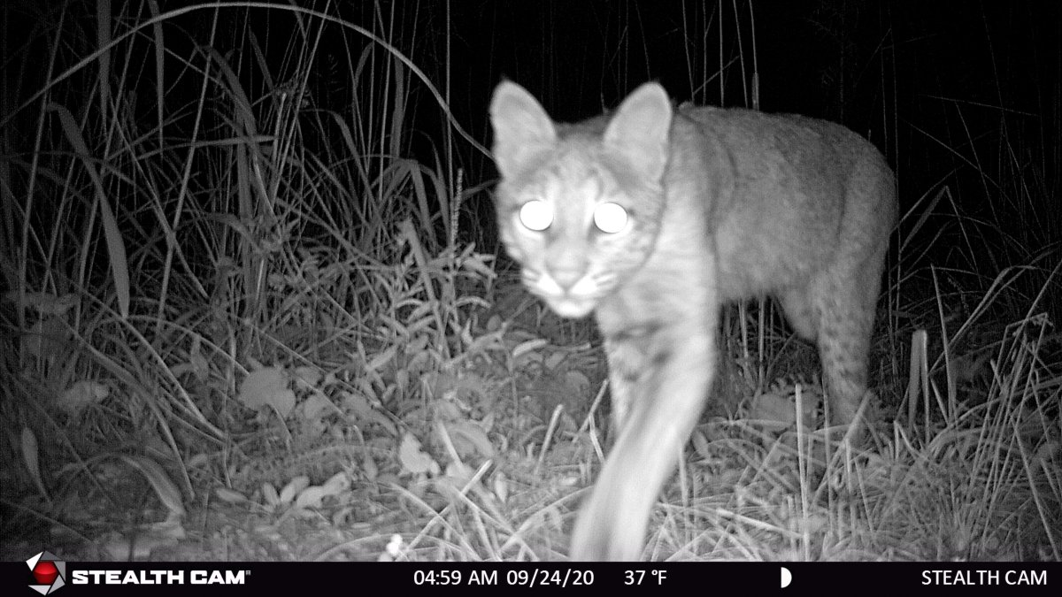 Bobcats Making a Comeback In Will County