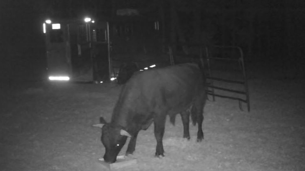 What's Next For Plymouth's Famous Buddy the Beefalo