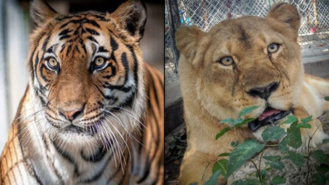 Kids Raise Money for Big Cats Sickened by Distemper