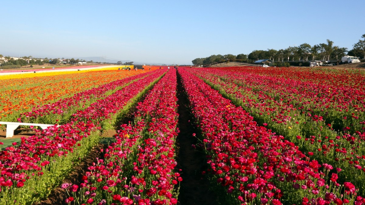 California's Carlsbad Flower Fields welcome visitors with full blooms 4/6/21