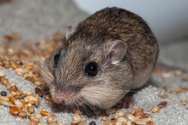 Tiny Endangered Pocket Mice Released Into Laguna Coast