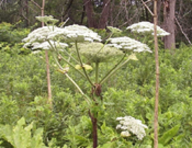 Beware This Giant Plant in NY: Burns, Blindness Possible