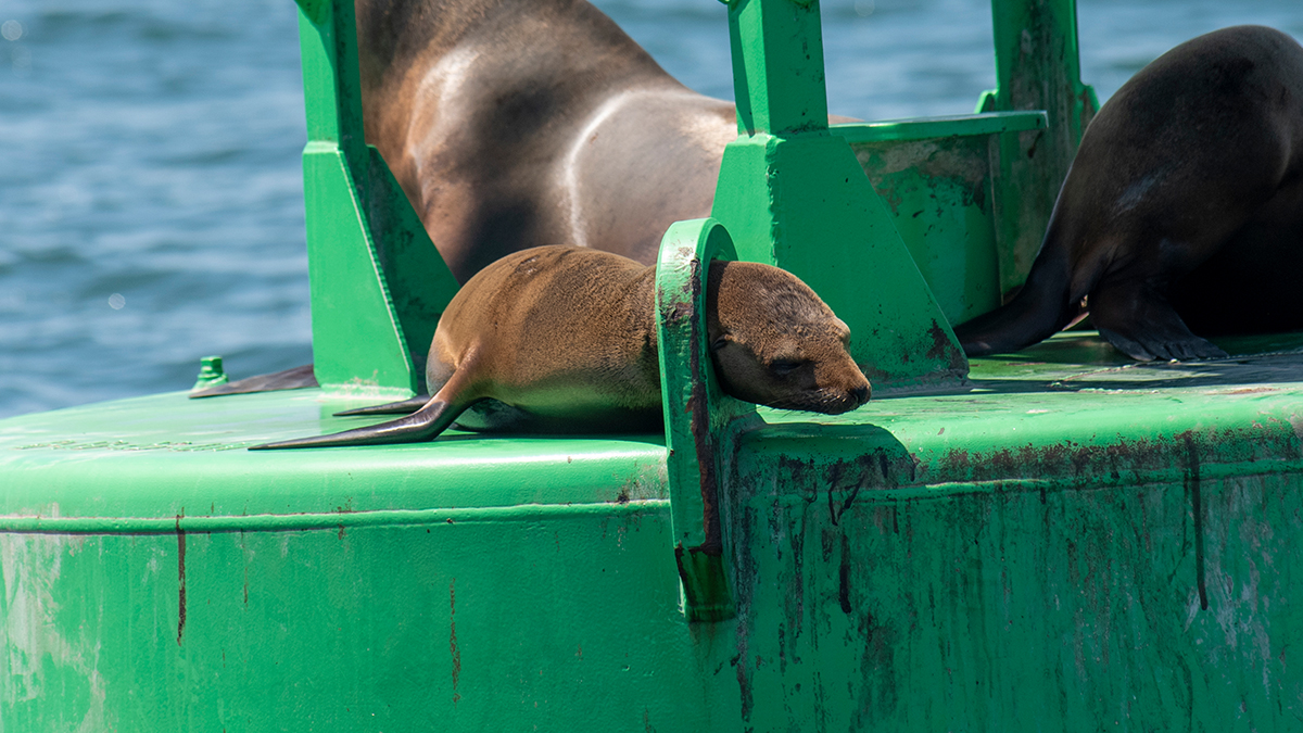 Oh, Buoy! SeaWorld Rescues Trapped Sea Lion in San Diego Bay