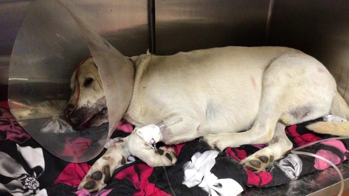 Heroic Dog Survives Rattlesnake Bite After Stepping Between Owner and Serpent