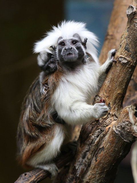 Liberty Science Center Welcomes Newborn Baby Tamarin To